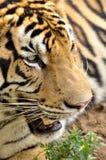 Gesichter des Bengal-Tigers Lizenzfreies Stockbild
