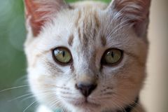 Gesichts-Katze Lizenzfreies Stockfoto