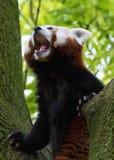 Gesichtsabschluß des roten Pandas oben mit blured grünem Hintergrund lizenzfreies stockfoto