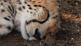 Gesichtsausdrücke eines träumenden Gepards stock video footage