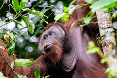Gesichtsfunktionen eines männlichen Orang-Utans Lizenzfreie Stockfotos