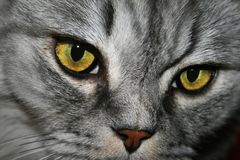 Gesichtskatze der Detailgetigerten katze Stockbilder