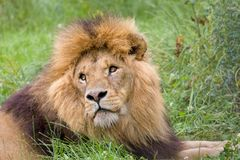 Gesichtsnahaufnahme eines Löwes Lizenzfreies Stockbild