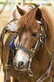 Gesichtspferd Stockbild