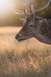 Gesichtsporträt des Rotwild-Hirsches Stockfotografie