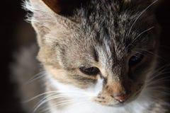 Gesichtsporträt einer Katze Makro Lizenzfreie Stockfotos