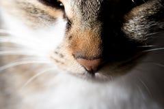 Gesichtsporträt einer Katze Makro Lizenzfreies Stockfoto