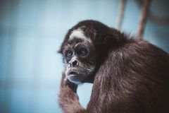 Gesichtsporträt eines Affen Lizenzfreies Stockfoto