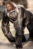 Gesichtsporträt eines Gorillamannes Stockbild