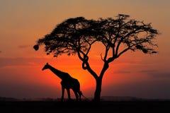 Gesilhouetteerde boom en giraf royalty-vrije stock foto