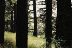 Gesilhouetteerde cederbomen Royalty-vrije Stock Foto