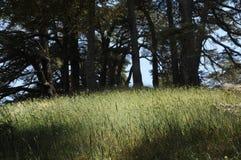 Gesilhouetteerde cederbomen Stock Foto