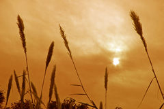 Gesilhouetteerde gras en installaties tegen de zon stock foto's