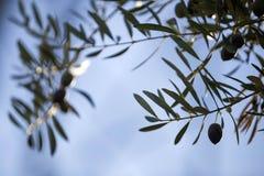 Gesilhouetteerde olijfbladeren Stock Foto