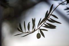Gesilhouetteerde olijfbladeren Royalty-vrije Stock Foto's