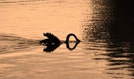 Gesilhouetteerde zwaan die voor voedsel duiken royalty-vrije stock afbeeldingen