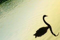 Gesilhouetteerde zwaan op meer Stock Foto's