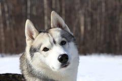 Geslepen schuchtere grijze wolf Stock Fotografie