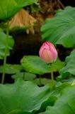 Gesloten lotusbloembloem Stock Afbeelding
