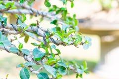 Gesloten omhoog bonsaitak en verpakt door controledraad Stock Afbeeldingen