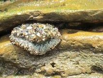 Gesloten Overzees Anemone Near Tide Pools van de Kust van Californië stock foto's