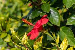 Gesloten rood bloemwachten om te bloeien stock afbeelding