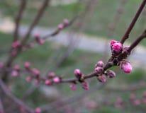 Gesloten roze knoppen op een boom op een bewolkte dag stock foto