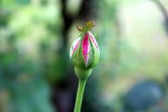 Gesloten roze nam knop met kleine pointy bladeren op donkergroene bladerenachtergrond toe royalty-vrije stock foto's
