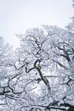 Gesneeuwde Boom Stock Foto's