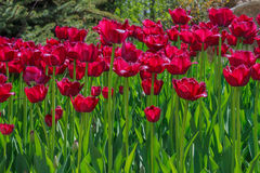 Gesneriana de Tulipa Imagens de Stock