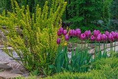 Gesneriana de Tulipa Fotografia de Stock Royalty Free