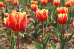 Gesneriana L för Tulipï ¼ˆTulipa ), Arkivfoto