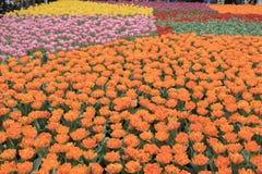 Gesneriana Tulipa Стоковая Фотография