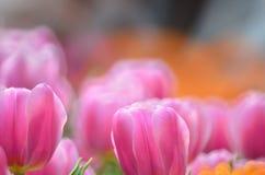 Gesneriana Tulipa Стоковые Изображения