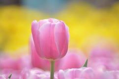 Gesneriana Tulipa Стоковая Фотография RF
