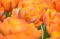 Gesneriana Tulipa Стоковое Фото