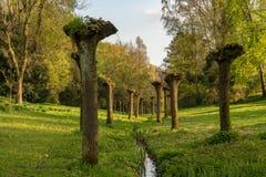 Gesnoeide bomen naast een stroom, Gladbeck, Duitsland Stock Afbeeldingen