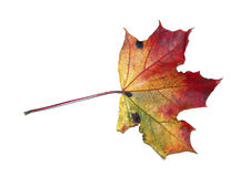 Geïsoleerd de esdoornblad van de herfst Royalty-vrije Stock Afbeelding