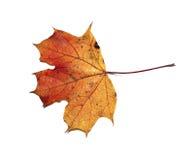 Geïsoleerd de esdoornblad van de herfst Stock Afbeelding