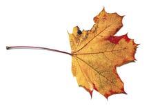 Geïsoleerd de esdoornblad van de herfst Royalty-vrije Stock Foto