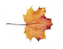 Geïsoleerd de esdoornblad van de herfst Royalty-vrije Stock Afbeeldingen