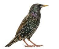 Geïsoleerd zijaanzicht van een Gemeenschappelijke Starling, vulgaris Sturnus, Royalty-vrije Stock Foto