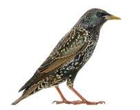 Geïsoleerd zijaanzicht van een Gemeenschappelijke Starling, vulgaris Sturnus, Stock Foto's