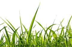 Geïsoleerdd gras Royalty-vrije Stock Afbeelding