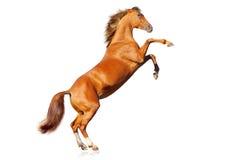Geïsoleerdd paard Royalty-vrije Stock Afbeelding