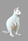 Geïsoleerde albinowallaby Stock Afbeelding