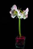 Geïsoleerde Amaryllis Hippeastrum Orchid Stock Foto's