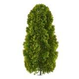 Geïsoleerde boom. Thuja Stock Fotografie
