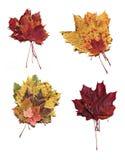 Geïsoleerde de bladeren van de de herfstesdoorn Royalty-vrije Stock Afbeeldingen
