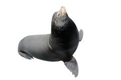 Geïsoleerde de Zeeleeuw van Californië Royalty-vrije Stock Foto